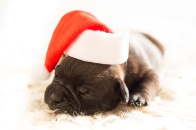 dog-christmas-xmas-bulldog.jpg