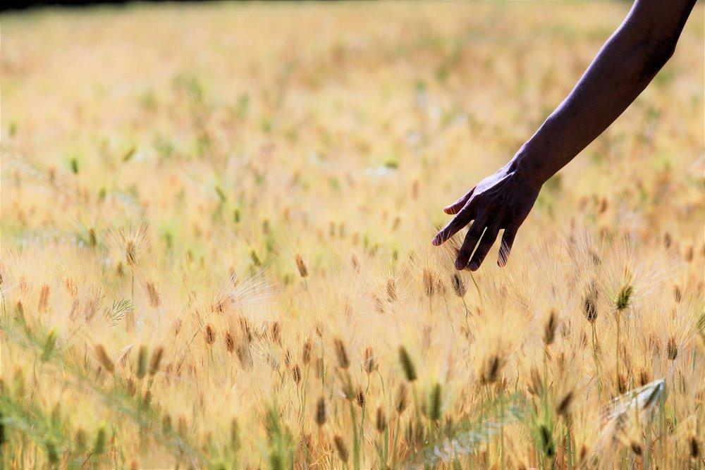 barley-field-2337006_1920.jpg