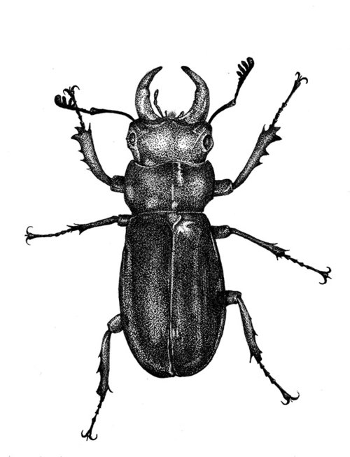 stag beetle ink drawing process awdesigns