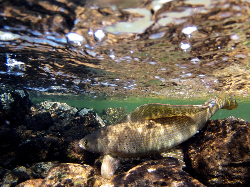 Arctic Grayling in it's pristine natural habitat