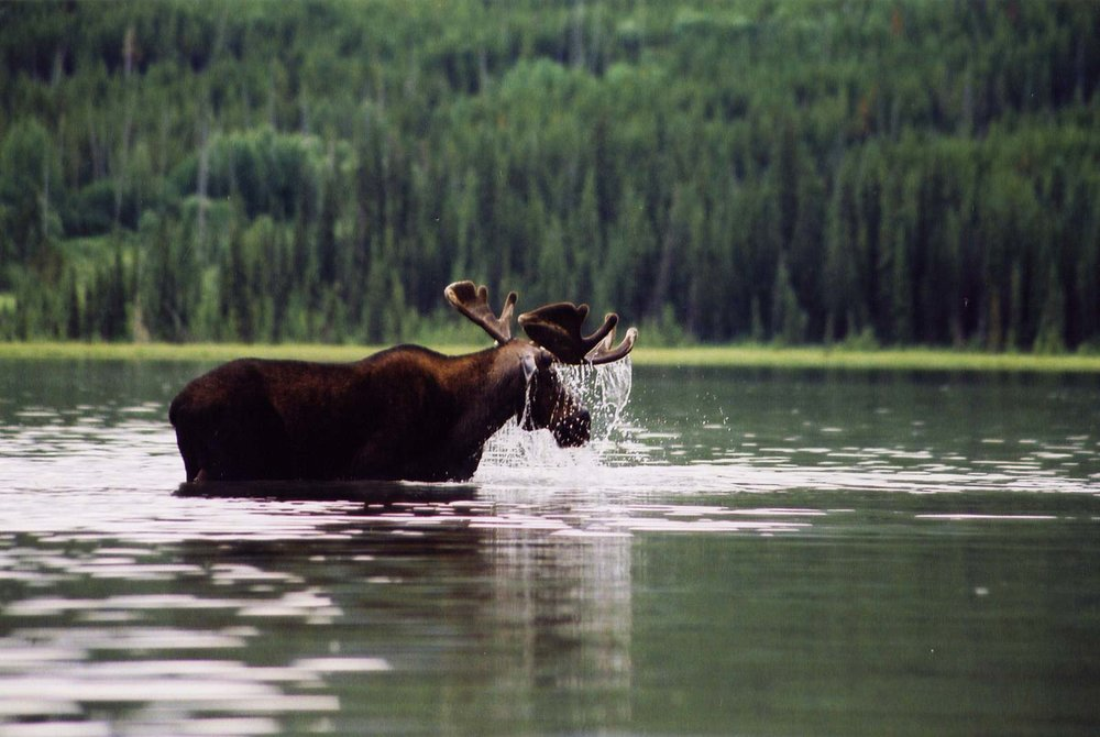 Bull Moose at Netson lake