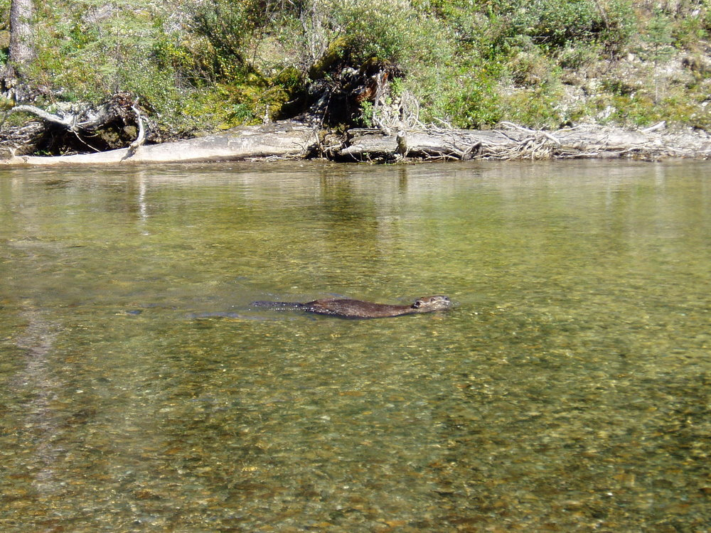 Beaver at Denetiah Provincial Park