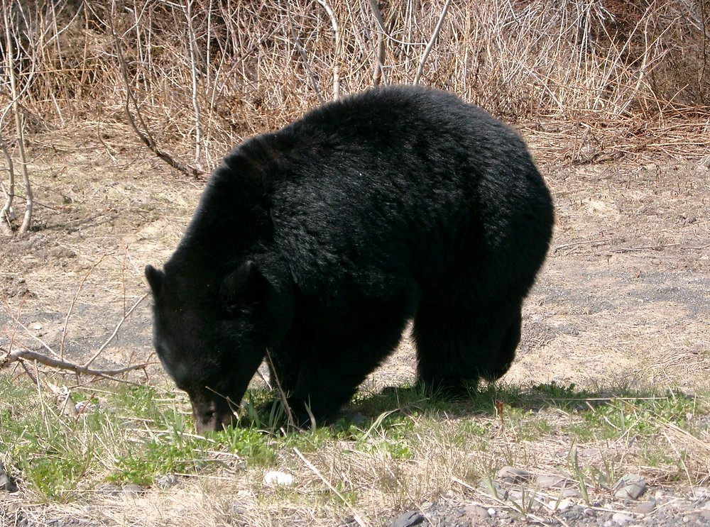 Black bear foraging for food