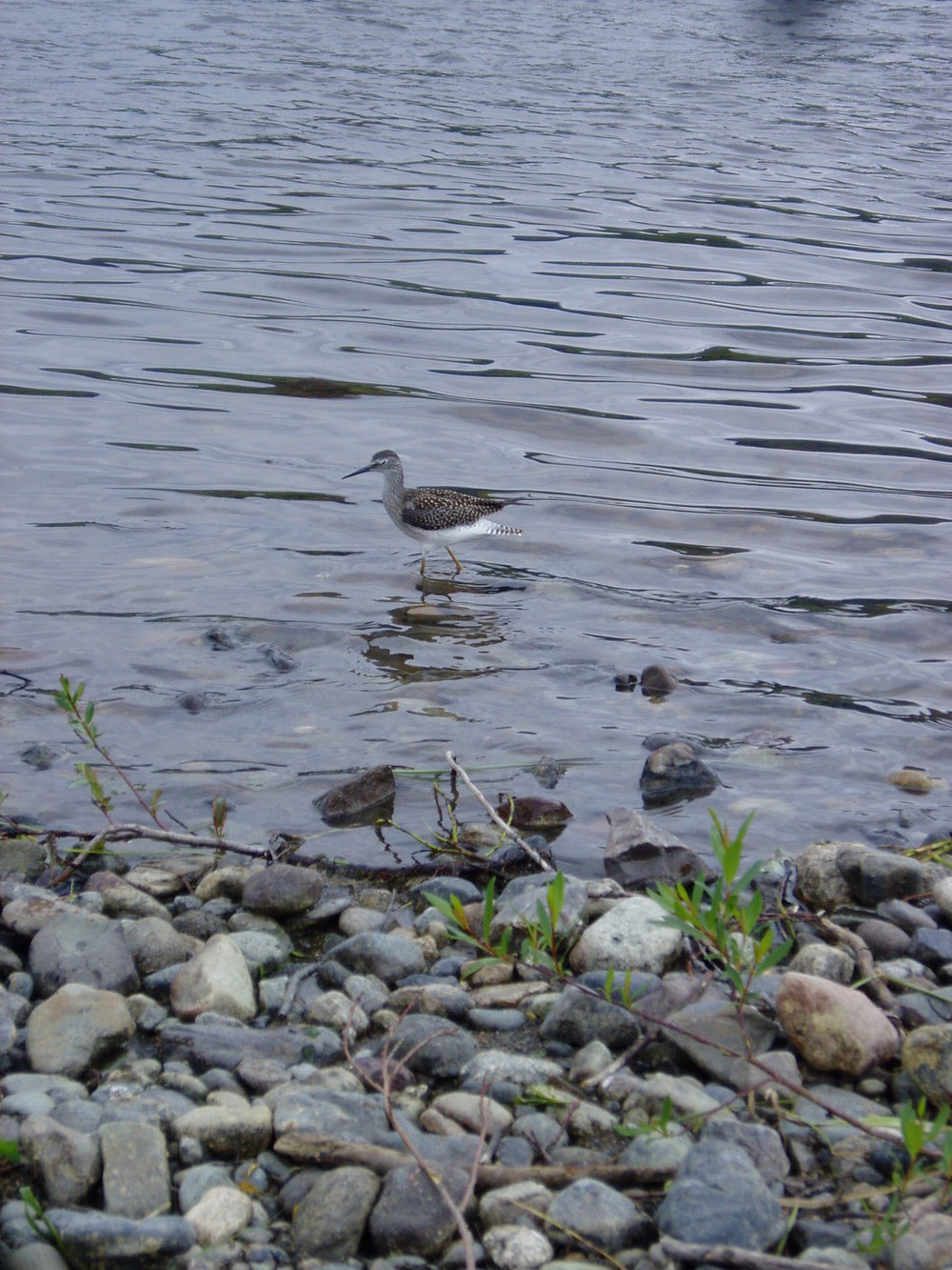 Sandpiper on the shores of Muncho Lake