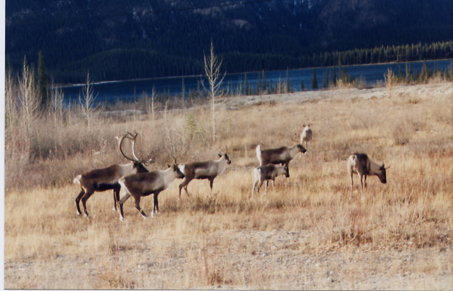 Copy of Caribou herd