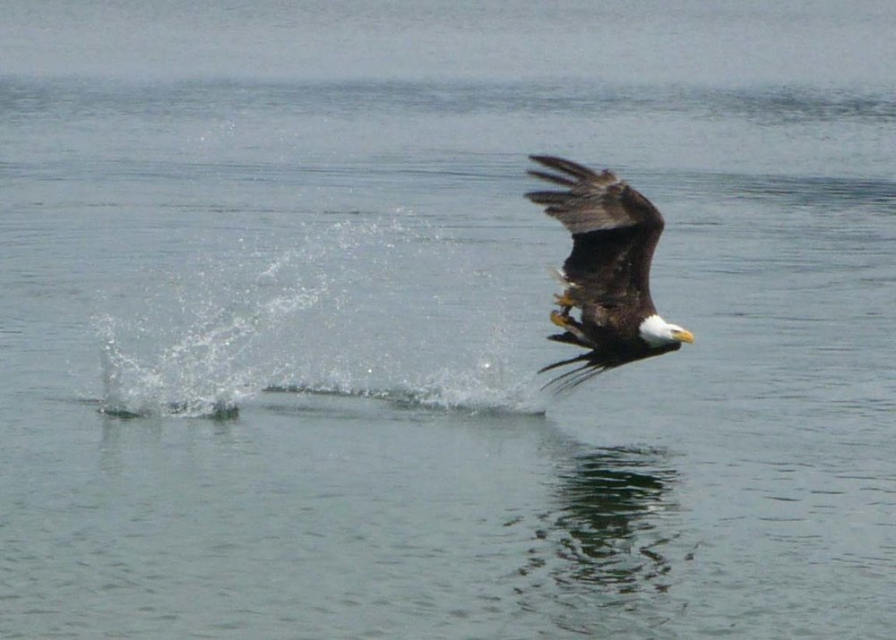 Copy of Eagle scooping up a fish