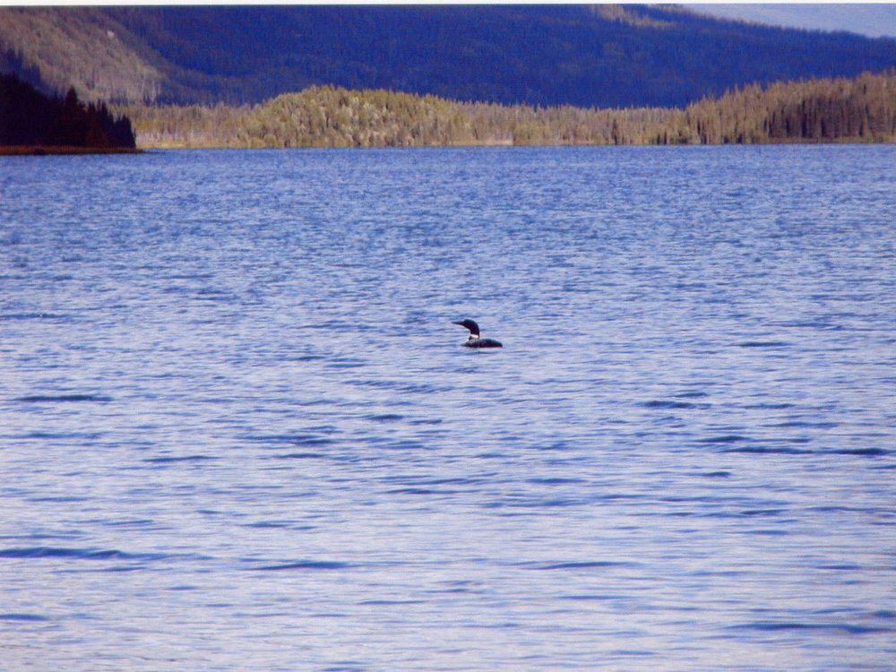 Loon swimming on a remote mountain lake