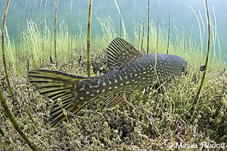 underwater Pike.jpg