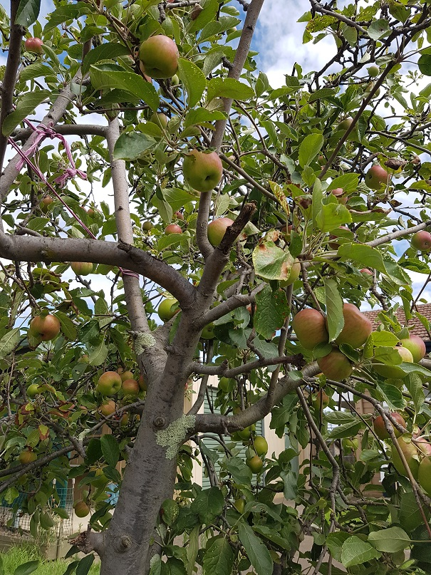 An old apple tree, still producing an abundance of delicious fruit