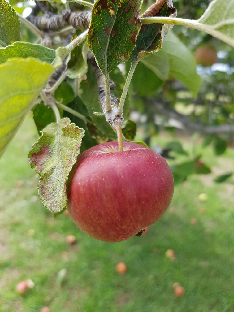 This apple is ripe and ready to pick!