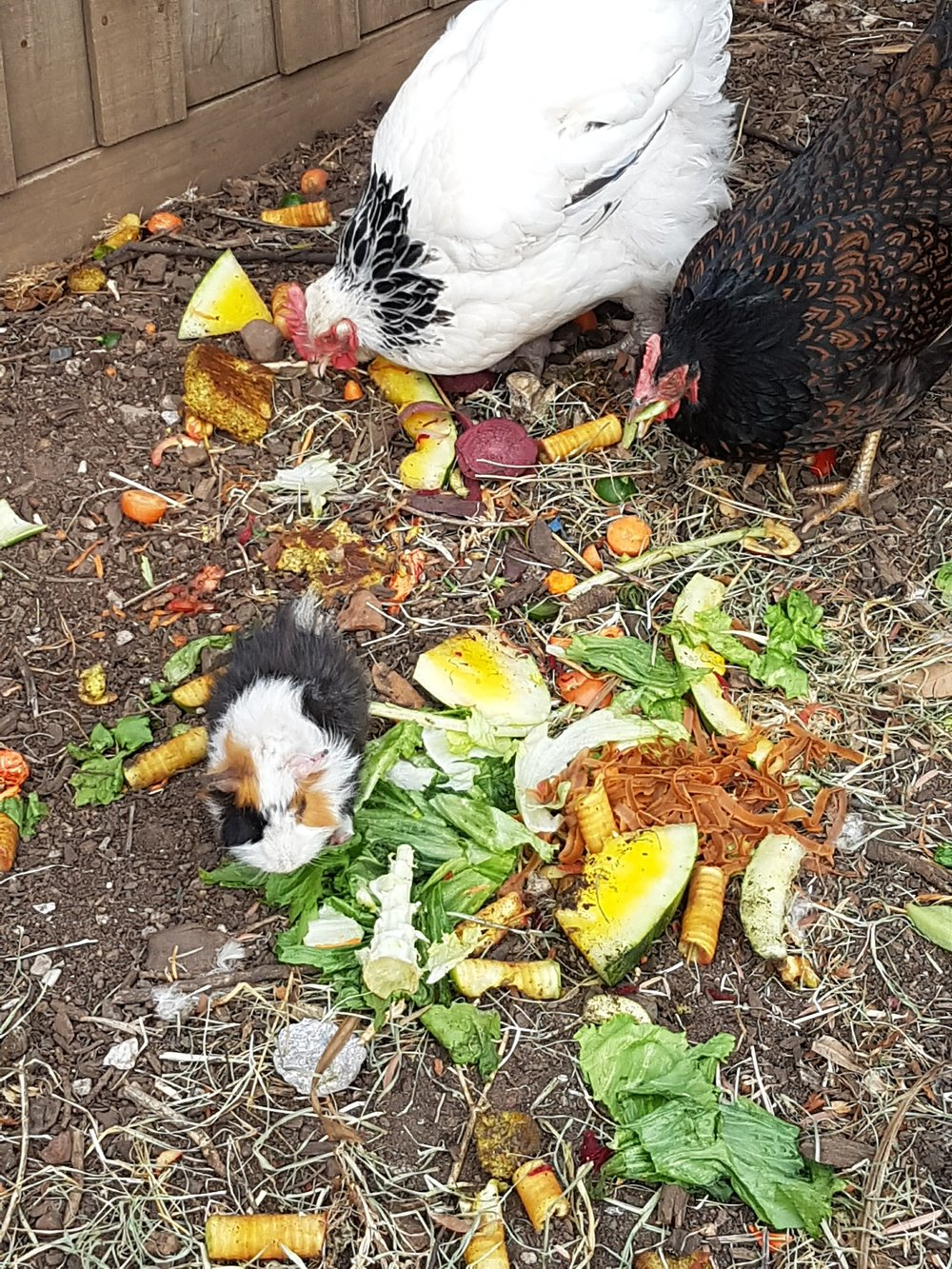 The guinea pigs and chickens get the vegie scraps and leftovers at our place