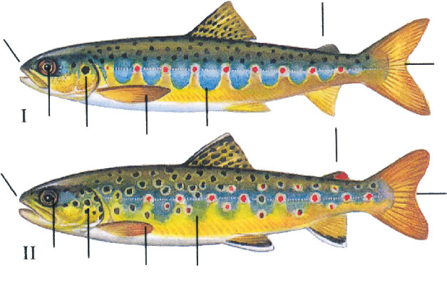 salmon-versus-sea-trout-parr.jpg