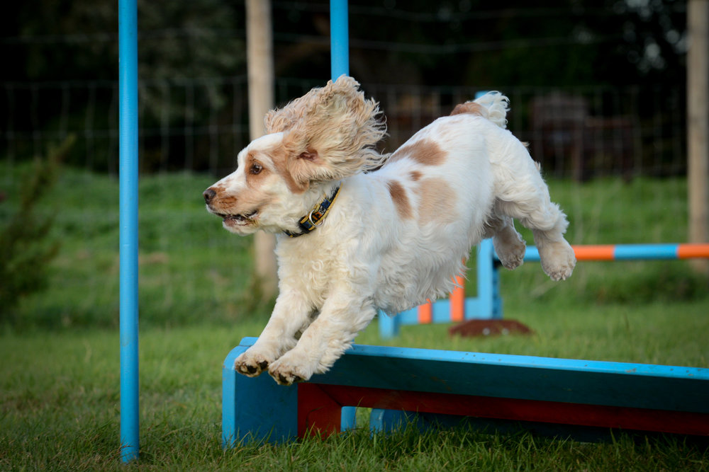Agility is a fantastic way for dogs – and humans – to keep fit
