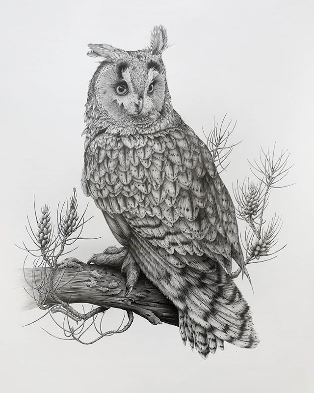 I'm so chuffed with how this big fella turned out! This one was a challenge for me and early on he was almost ripped up because I just didn't think I could manage it. I took several steps back and eventually got on top of it, and here he is, sat amongst Scots pine flowers looking a little stern! 🦉 🤗 Swipe for close ups if you're interested 💕 . . . . . . #bird #birdart #birdnerd #birddrawing #igbirds #feather_perfection #art #artwork #owl #birdofprey #longearedowl#owlsofinstagram #gallery #picturewall #drawing #onthewall #artfinder #artforthehome #artrealism #sharingart #thenativecreative #hearstothecreatives #handsandhustle #artbiz #pencilart #fortheloveofart #drawingoftheday #craftsposure #artistsdrop #artist_community