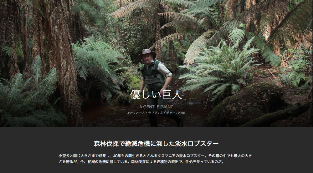 11TH November, 2018  TASSIE LOBSTER TURNING JAPANESE  'A Gentle Giant' – the story of a Tassie Lobsterman looking after the largest freshwater invertebrate on the planet has been subtitled into Japanese. The film has now screened in 20 foreign language countries and has been distributed online to Yahoo as part of the Short Shorts Film Festival Asia (SSFF). The online portal is open for free until March 2019 and screens many film genres, including Peace & War, World, Life, Culture, History, and Nature films. You can watch Tassie lobster here if you are up to speed reading Japanese quickly.    https://original.yahoo.co.jp/…/fea…/ssff2018/a_gentle_giant/