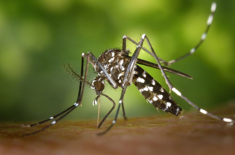 Asian tiger mosquito, Aedes albopicts. Image credit: James Gathany, Centers for Disease Control and Prevention (CDC)