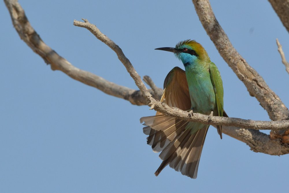 Little Green bee eater (Merops orientalis) in Dubai. Image credit: Jaiprakashsingh, CC BY-SA 3.0, posted to Wikipedia.