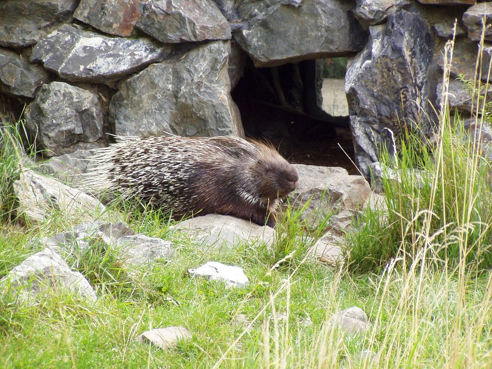 Indian crested porcupine on a rocky hillside. Image credit: Bodlina, CC BY 3.0, posted to Wikipedia.