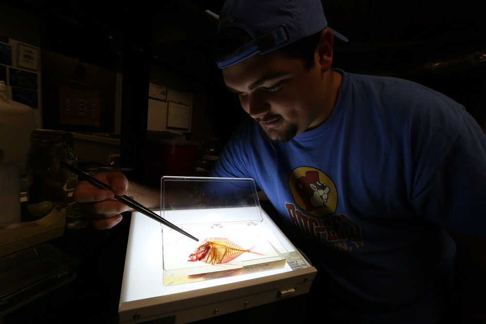 Link Morgan is an undergraduate assistant curator at the museum. He works to analyze fish morphology, and one of the ways to do this is to prepare cleared and stained specimens where the bone and cartilage are stained for in-depth analysis. Image: Paige Jarreau.
