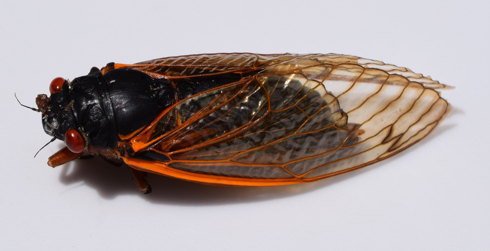 Cicadas use number theory! A cicada Magicicada species individual from Brood XXIII (Lower Mississippi River Valley Brood). Image credit: Fredlyfish4, via Wikipedia, CC BY-SA 4.0