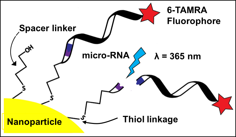 Drug molecules (micro-RNA) are attached to gold and silver nanoparticles with linkers that break apart when ultraviolet light (blue lightning icon) hits them, releasing the drugs. A fluorescent dye (red star icon) can be used to track where the drug goes after being released. Graphic by Dr. Haber's research team, compliments of  Raju   Kamal.