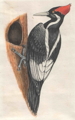 Ivory-Billed Woodpecker. The species is listed as critically endangered and possibly extinct by the International Union for Conservation of Nature. Illustration by Andrei Zinoviev.
