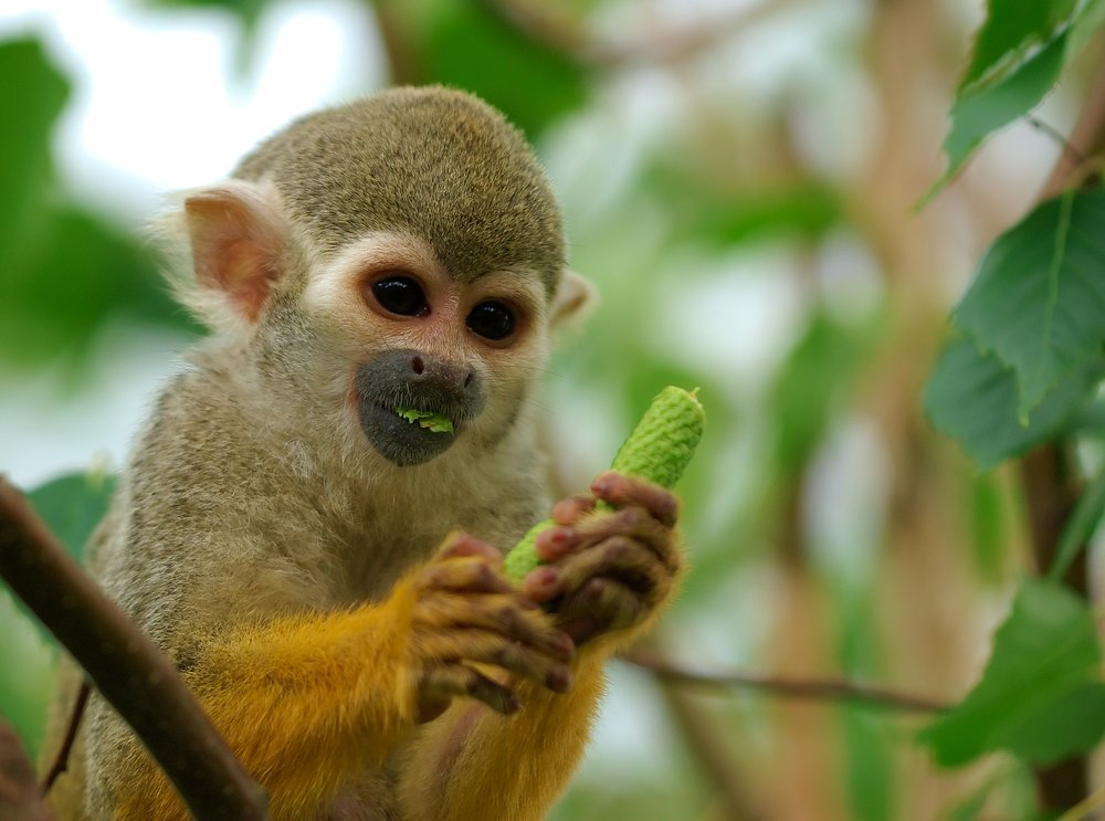 Squirrel monkey, Saimiri sciureus. Image by Luc Viatour, via Wikimedia.