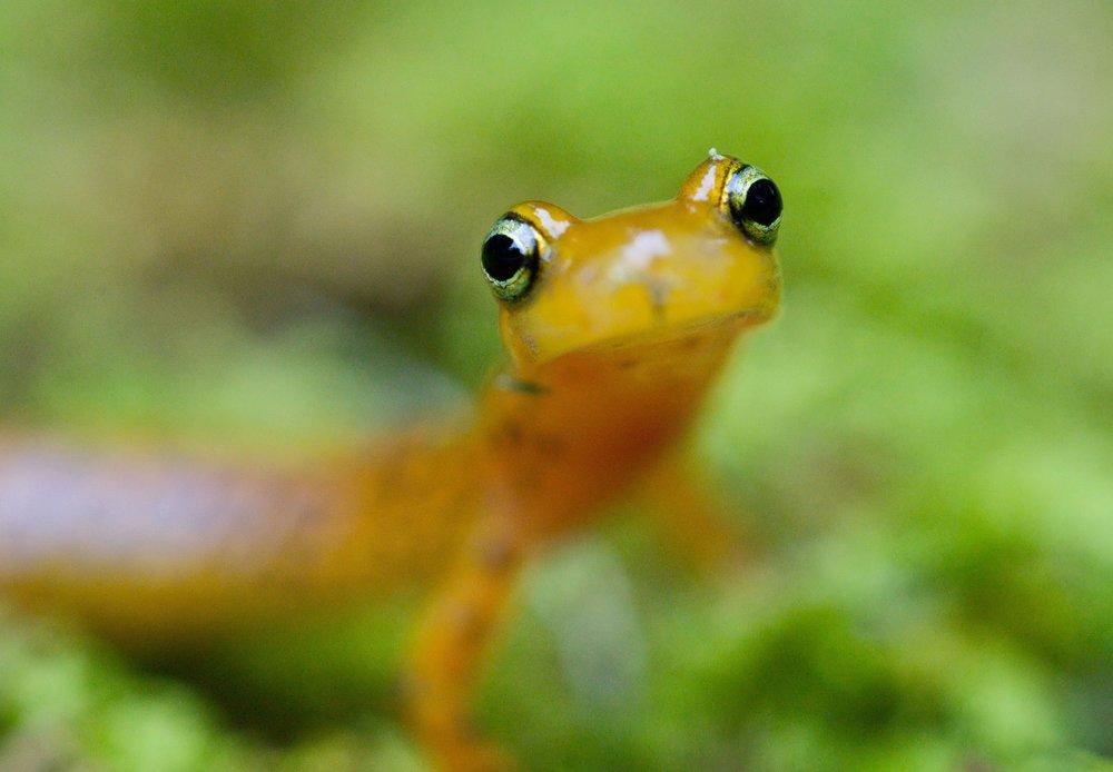 Longtail salamander. Photo by Ryan Hagerty.