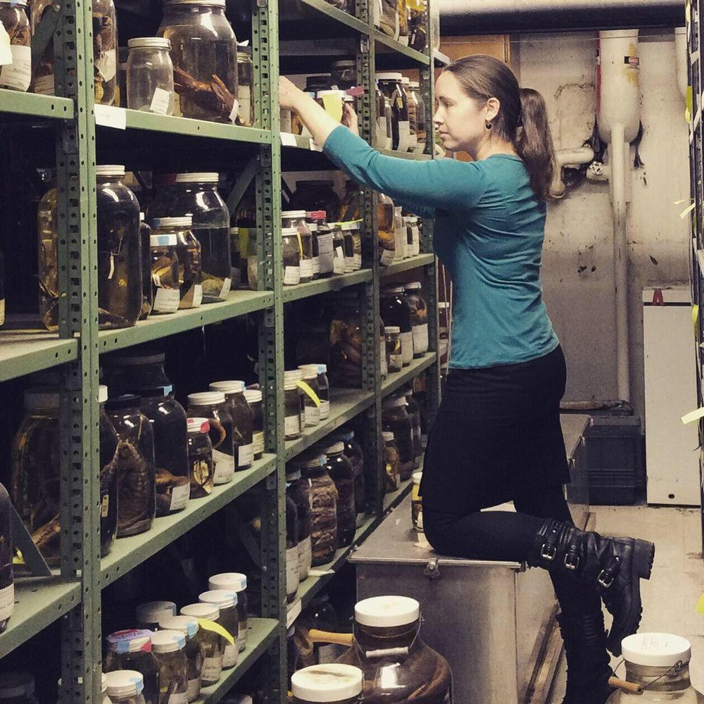 Working in the LSUMNS Herpetology Collection. Photo by Cathy Newman.