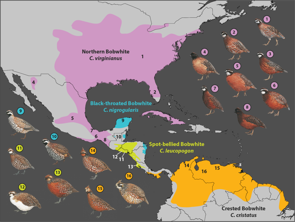 Ranges of the four species of bobwhite quail. Some of the 46 subspecies are shown, numbers correspond to their location on the map. Bird images are from Handbook of the Birds of the World. Graphic by Jessie Salter.