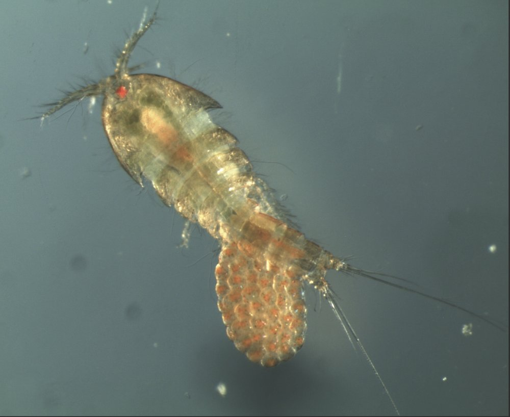 Female copepod with egg sac. Credit: Morgan Kelly.