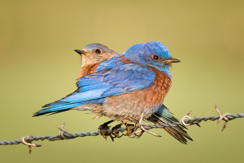 Based on genetic factors, bluebirds who help more at the nest instead of leaving to start their own nest have a higher chance of being in turn helped when breeding. Some traits are inherited together. Image credit:  Alice Cahill , flickr.com.