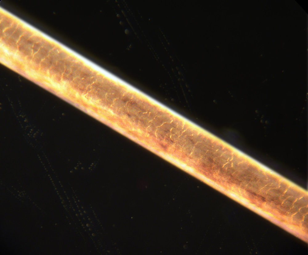 Strand of human hair at 200× magnification. Photo by Jan Homann, Wikimedia.
