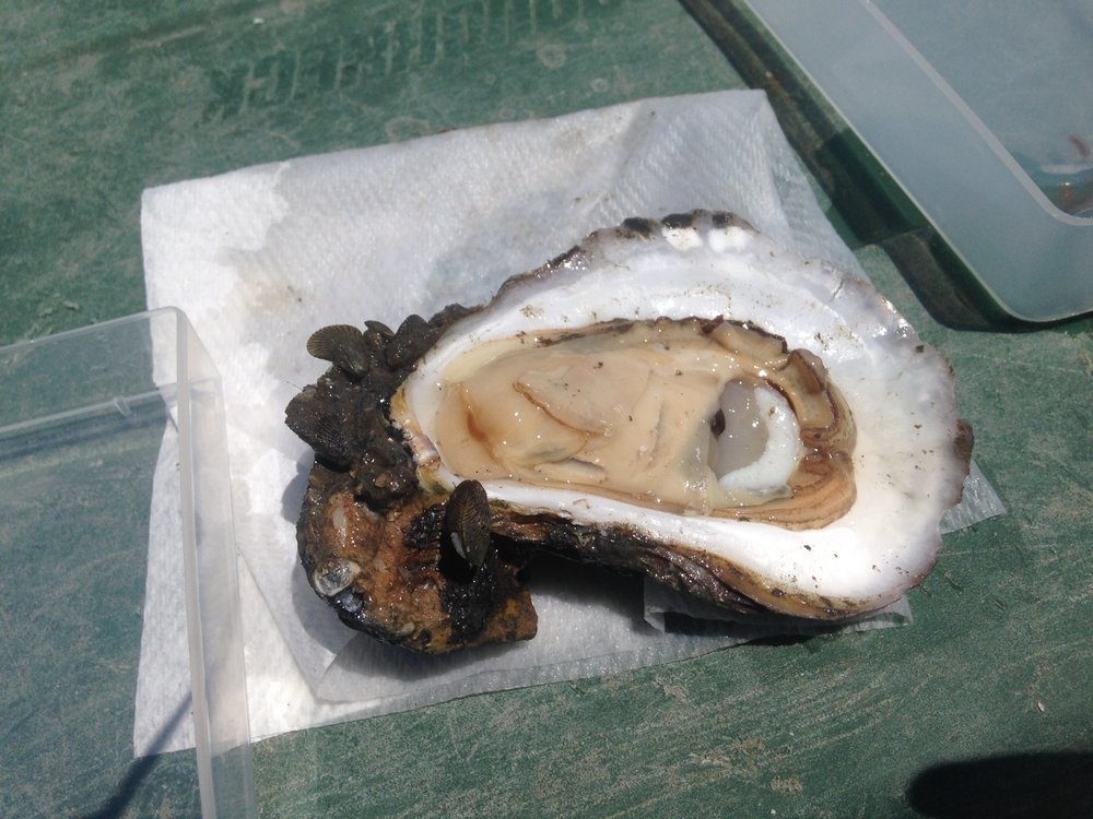 Image of an oyster used for tissue sampling in the field. Credit: Hollis Jones.