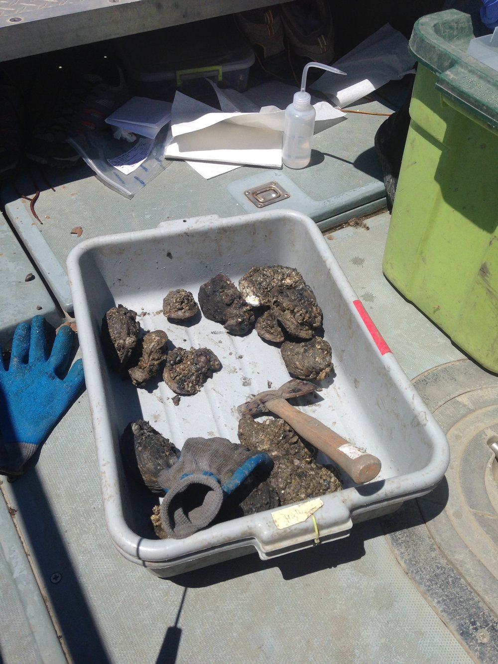 Image of oysters collected in the field. Credit: Hollis Jones.