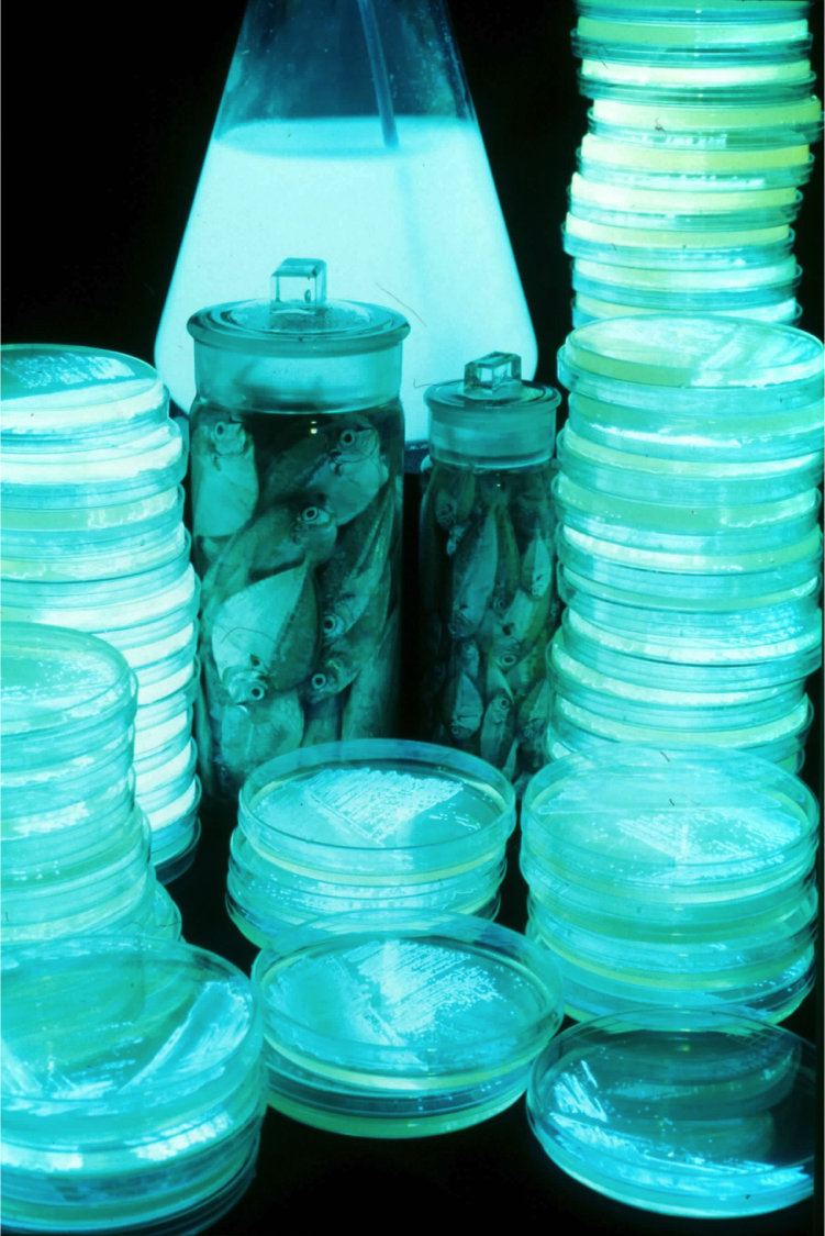Photo of ponyfish and plates of bioluminescent Vibrio bacteria in agar plate. Credit: John Sparks, American Museum of Natural History.
