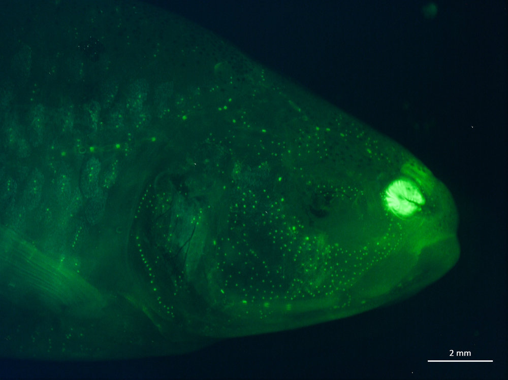 A fluorescent image showing lateral line cells or sensory neuromasts (green dots) in a Mexican blind cavefish. The fish doesn't have eyes, but it can sense water movement with its lateral line system. Credit: Julie Butler, Maruska Lab at LSU.