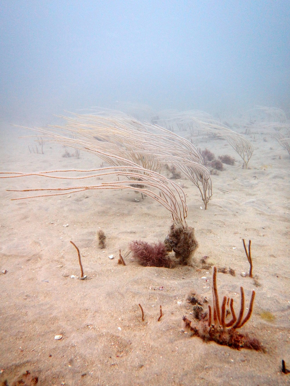 Leptogorgia virgulata , commonly called the Sea Whip, bent over in the current. Credit: Alicia Reigel.