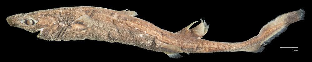 Image of  Etmopterus schultzi , by Brandon  Ballengée .