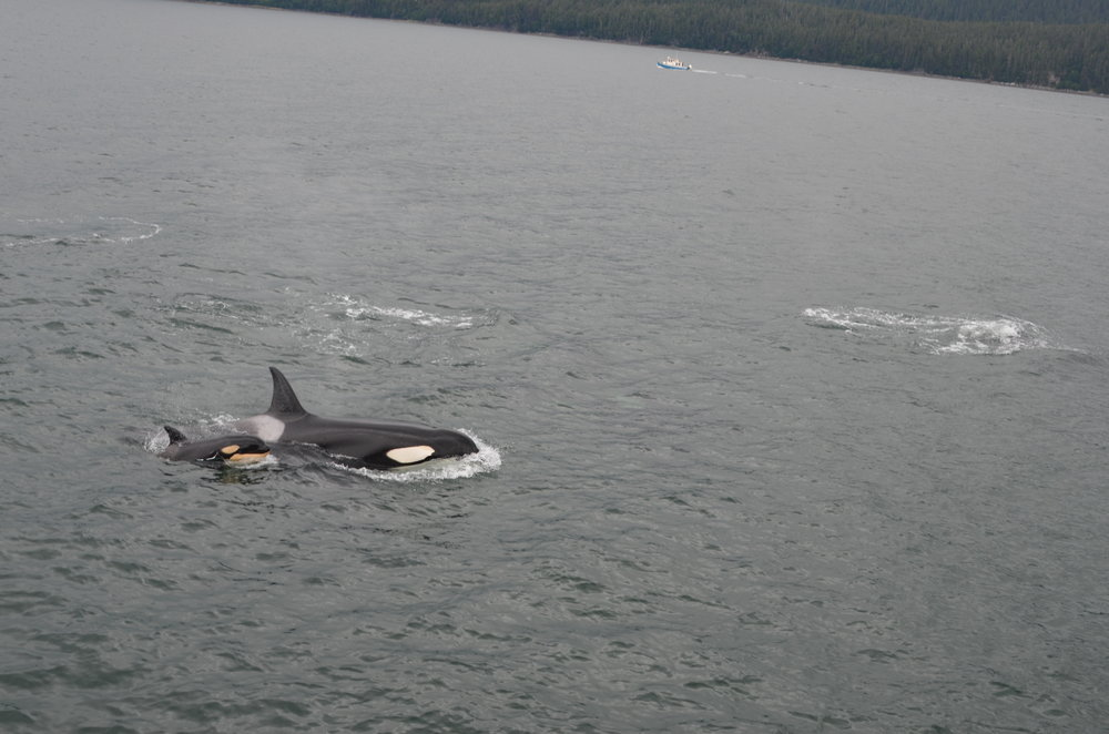Killer whale and calf. Photo by Bill Stickle.