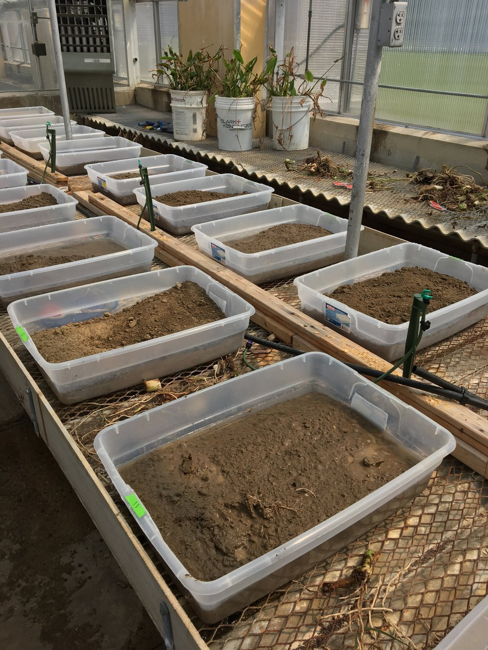 Elephant ear project bins in the LSU greenhouse.