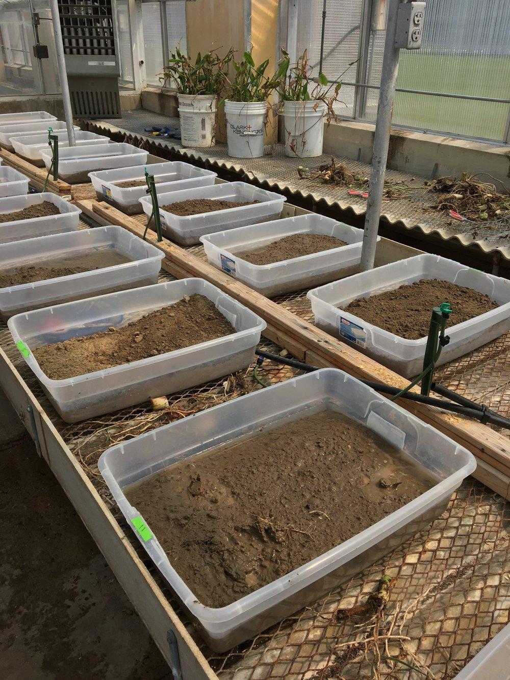 Elephant ear project bins in the LSU greenhouse.