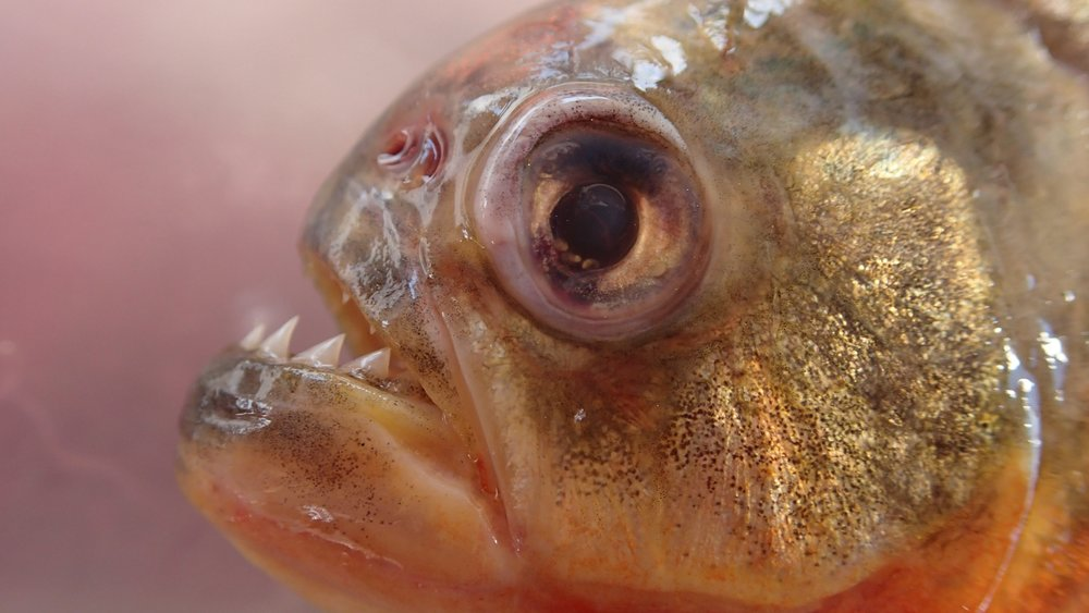 A close up of a piranha's toothy grin. Prosanta collected this specimen in the Amazon.