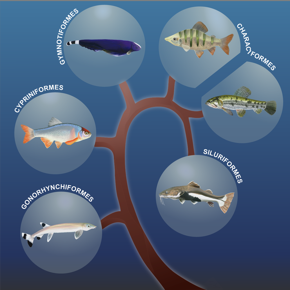 "Cover art for ""Phylogenomic Systematics of Ostariophysan Fishes: Ultraconserved Elements Support the Surprising Non-Monophyly of Characiformes."""