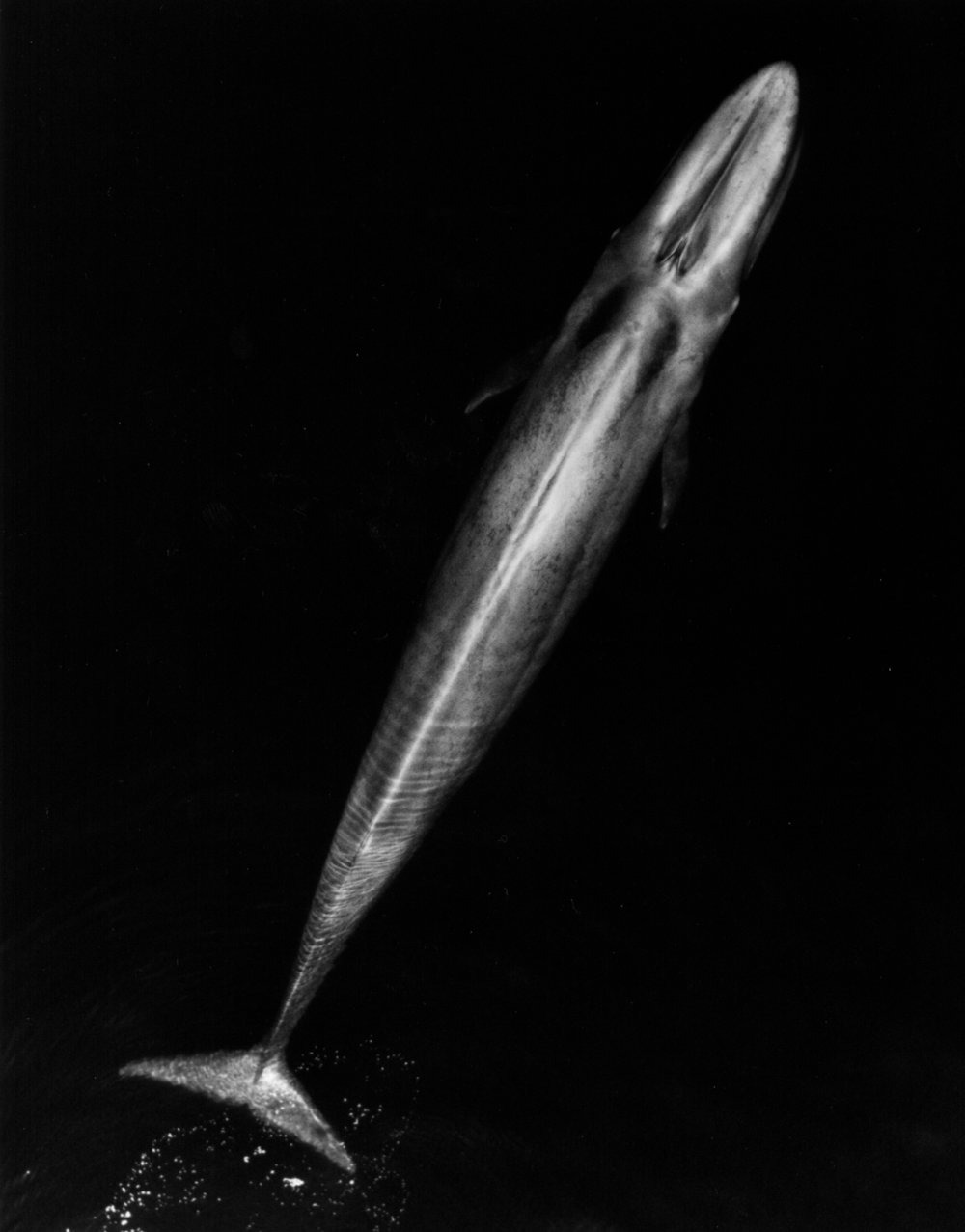 Adult blue whale. Credit: NOAA Fisheries,  TBjornstad , April 2007.