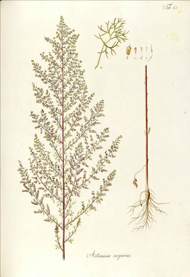 Artemisia scoparia.  Credit: Waldstein-Wartenbur, F. & Kitaibel, P. (1799-1802).