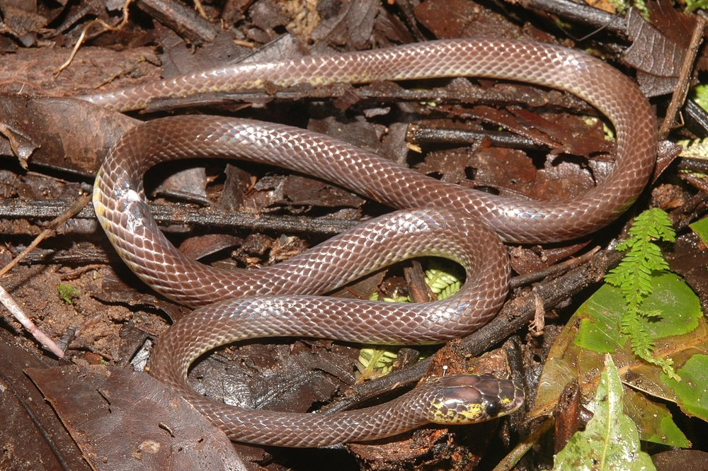 A photo of a newly discovered species of New Guinea snakes,Stegonotus derooijae,named in honor Dr. Nelly De Rooij, a famous herpetologist. Photo via Sara Ruane and Chris Austin.