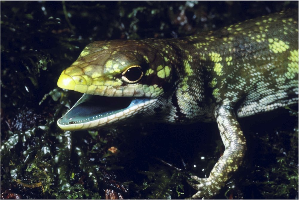 Prasinohaema prehensicauda  with green blood due to high concentrations of biliverdin accumulation, note green color of the mucosal lining and tongue. Photo by Chris Austin.
