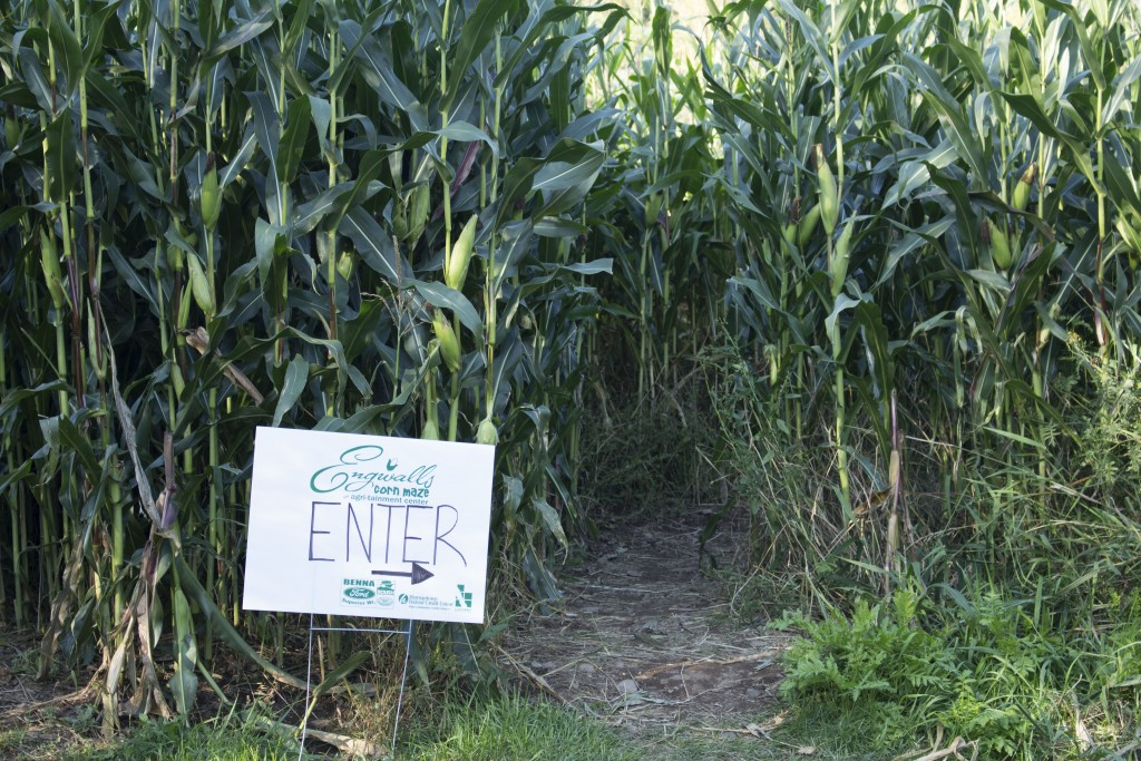 """Engwall's """"urban"""" corn maze opened Sept. 12 and will be open every weekend through Halloween."""