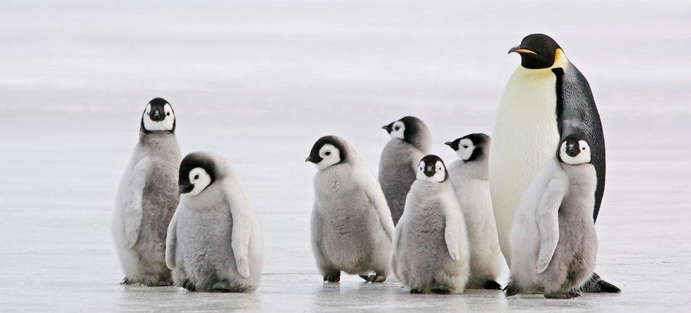 penguins-fact (1).jpg